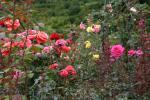 Madeirská Quinta do Arco a růže